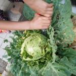 家庭菜園キャベツの収穫